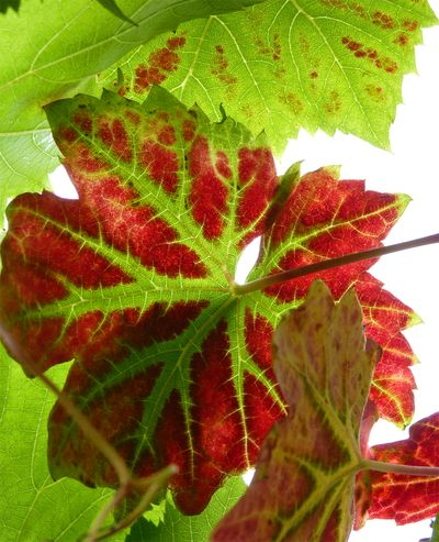 Autumn grapes