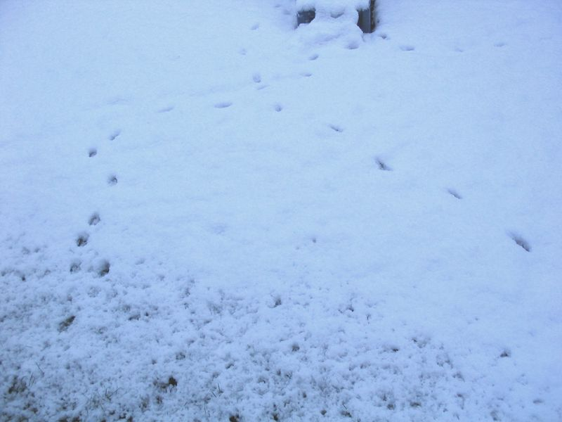 Foxy footprint