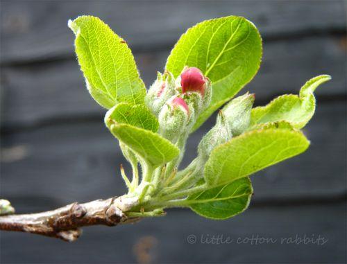 Apple bloss