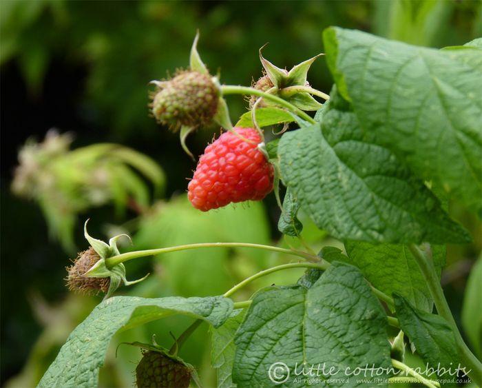 Raspberriesred