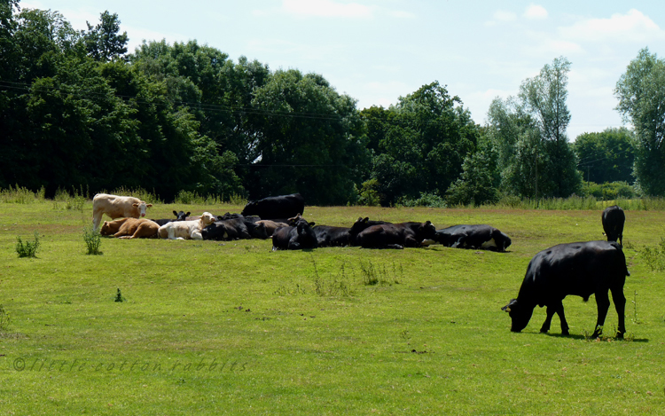 Laying cows