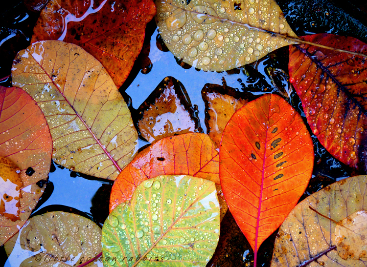 Leaves ina puddle