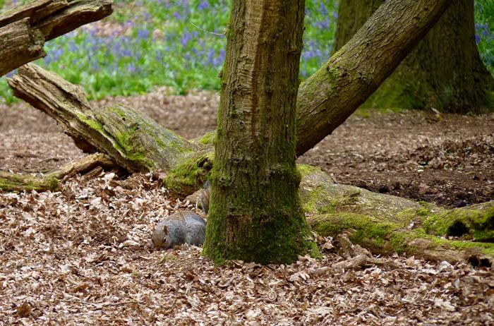 Squirrel - Copy