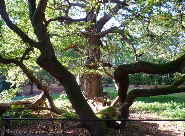 Old oak2