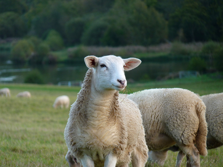 Sheep grazing2