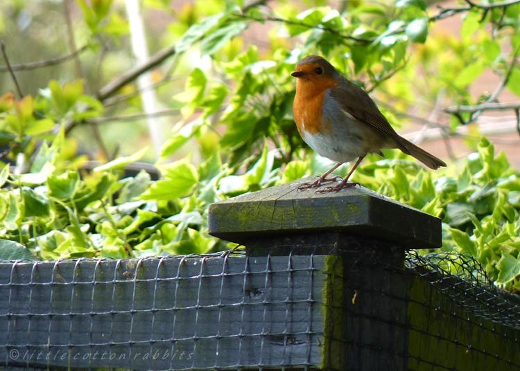 Robin4