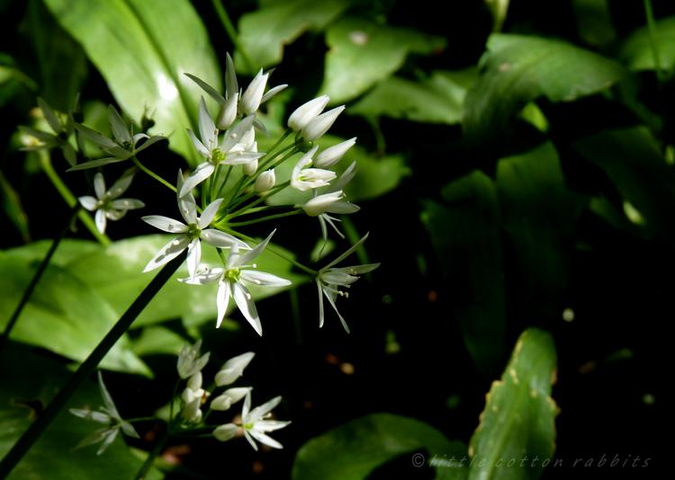 Wild garlic close