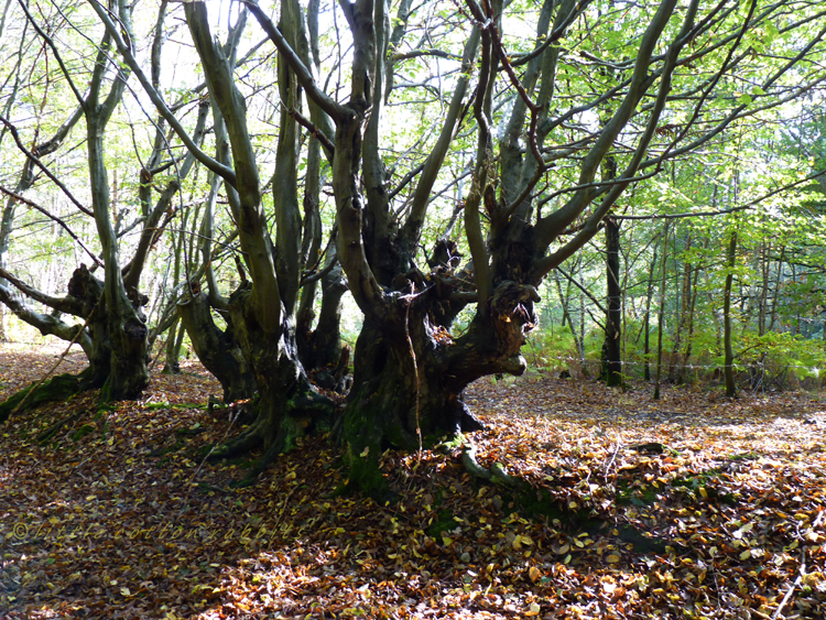 Tortured hornbeams