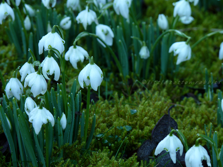 Snowdrops and moss