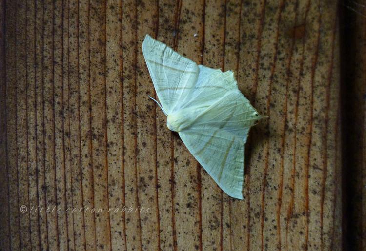 Swallowtailmoth