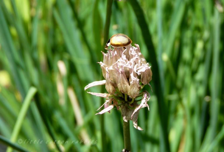 Ladybirdhatchling