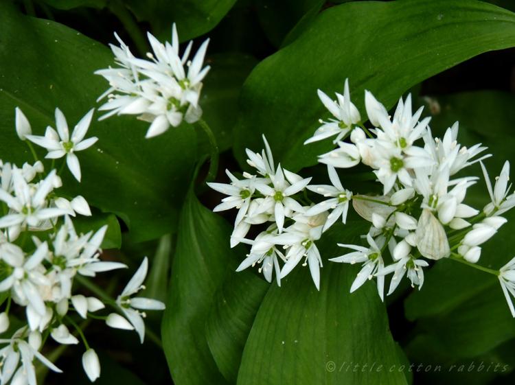 Wild garlic, ramsons