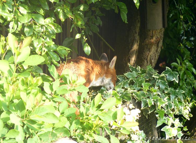 Foxy 9