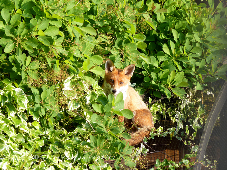 Foxy8