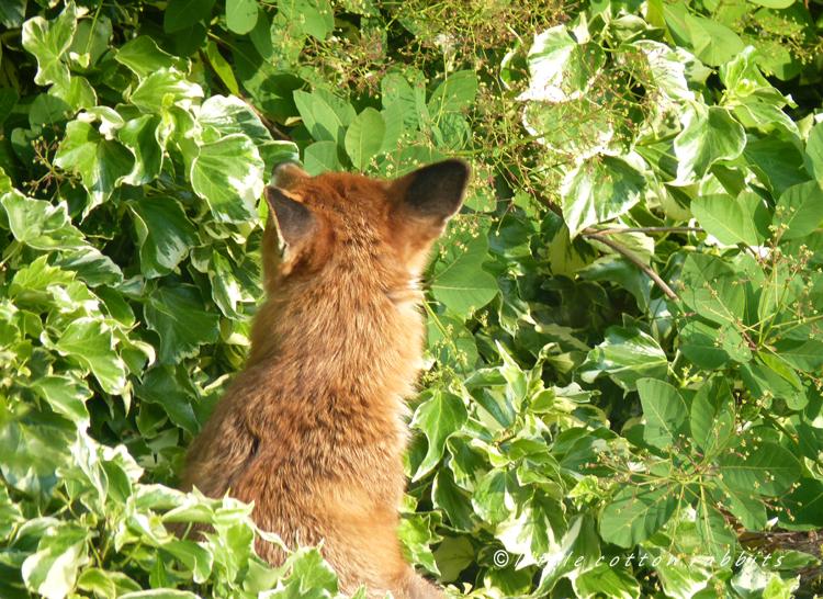 Foxy7