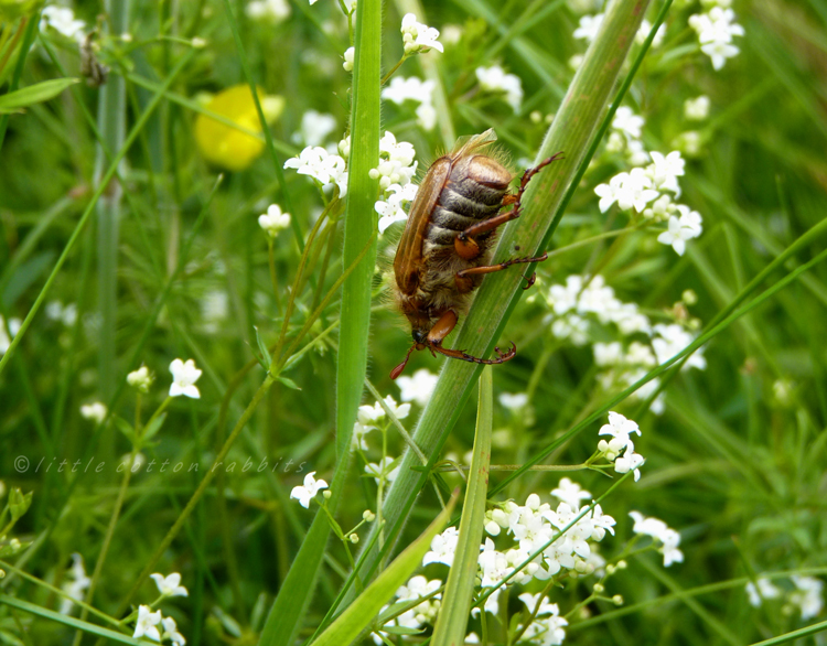 Common cockchafer beetle