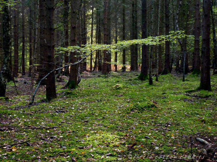 Pine woods dark