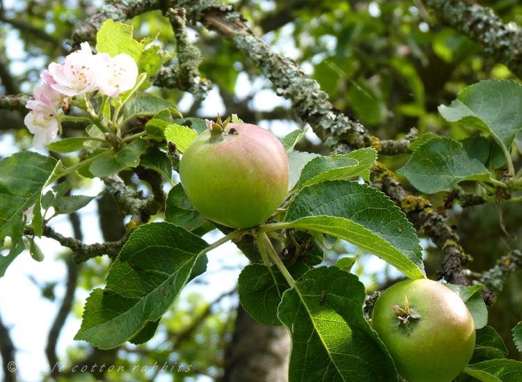 Budding apples