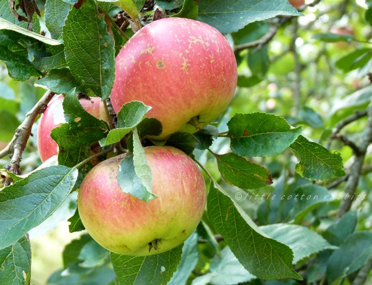 Blushed apples